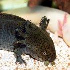 Axolotl_1_mod