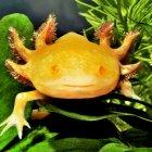 B_Kahl_ 002_Albinotischer_Axolotl _Zuchform