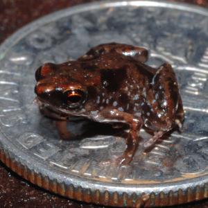 Kleinster Frosch der Welt