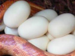 Kornnatter Eier
