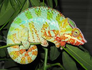 chameleon-227315_1920