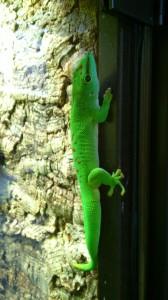 Madagaskar Tackgecko