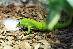 85_F.Hardel_Gecko