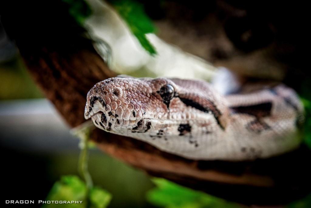 Boa Constrictor Constrictor Sammy