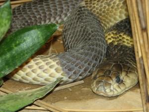 Ägyptische Cobra im Terrarium