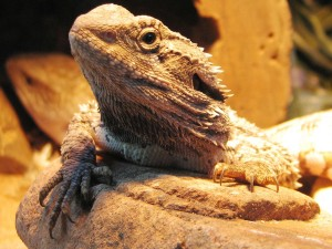 1280px-Bearded_Dragon2
