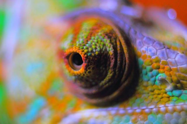 Chamäleon Ernährung Auge