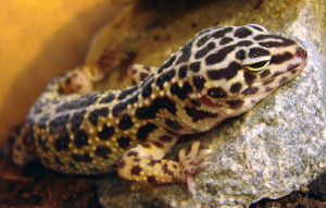 Leopardgecko Darmparasiten