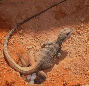 Inkubation Reptilien