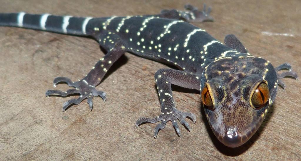 Cyrtodactylus vilaphongi, Photo Nicole Schneider