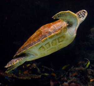 Welt-Schildkröten-Tag Meeresschildkröte