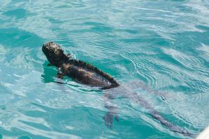 Die Meeresechse im Wasser (Foto: Andrew Skujins)